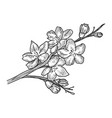 cherry blossom sketch vector image vector image