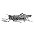 Rocky Mountain Locust vector image vector image