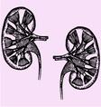 cross section human kidneys vector image