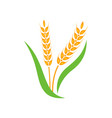 wheat barley spike yellow isolated on white vector image vector image