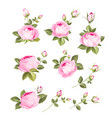 Rose flowers set over white background