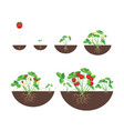 cartoon growth stages of strawberries icon set vector image vector image