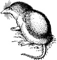 rodent diplomesodon vector image vector image