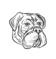 bullmastiff head black and white etching vector image vector image