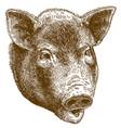 engraving of big pig head vector image vector image