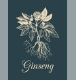 ginseng on dark background vector image