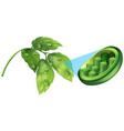 green leaves and cell plant diagram vector image vector image