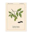 tonka beans dipteryx odorata aromatic