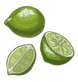 lime full color realistic sketch vector image vector image