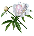 White realistic paeonia flower with leaves and bud vector image vector image