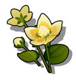 yellow flowers of caltha or caltha palustris vector image vector image