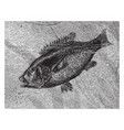 hussar fish vintage vector image vector image
