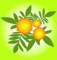 marigolds flowers vector image vector image