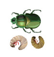 rose chafer vector image