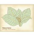 tobacco leaves vector image vector image