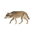gray wolf trotting vector image vector image