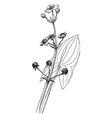 sagittaria latifolia vintage vector image vector image