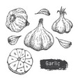 garlic collection hand draw garlic set isolated vector image vector image