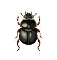 sacred scarab beetle vector image