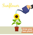 hand watering sunflower plant vector image
