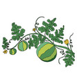 juicy ripe watermelon in foliage and flowers is vector image