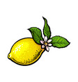 sketch ripe lemon with leaves and flower vector image vector image