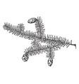 tsuga diversifolia vintage vector image