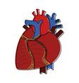 human heart organ vector image vector image