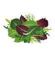 mix of salad leaves arugula spinach and lettuce vector image vector image