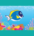 blue surgeon fish on a coral reef vector image