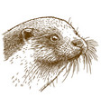 engraving of otter head vector image vector image