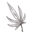 cannabis plant branch marijuana or sativa vector image