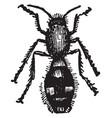 female mutilla europaea vintage vector image vector image