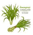 lemongrass set vector image vector image