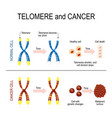chromosome and telomere for healthy and cancerous vector image vector image