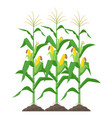 corn stalks isolated on white background green vector image vector image