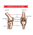 knee bones and joint sketch human anatomy vector image