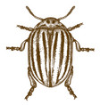 engraving colorado beetle vector image