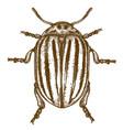engraving of colorado beetle vector image