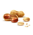realistic peanut in nutshell kernel shell vector image