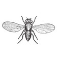 pomace fly vintage vector image vector image