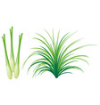 lemon grass leaves and roots vector image