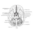 relation of brain stem to spinal cord vintage vector image vector image