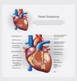 heart anatomy vector image