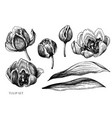 set hand drawn black and white tulip vector image