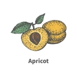 Hand-drawn ripe yellow apricot piece half bone vector image vector image