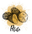 potato pictured hand-drawn graphics vector image vector image