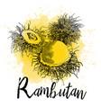 hand drawn of rambutan vector image vector image
