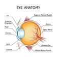 Eye anatomy vector image