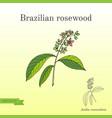 Aniba rosaeodora or brazilian rosewood or vector image